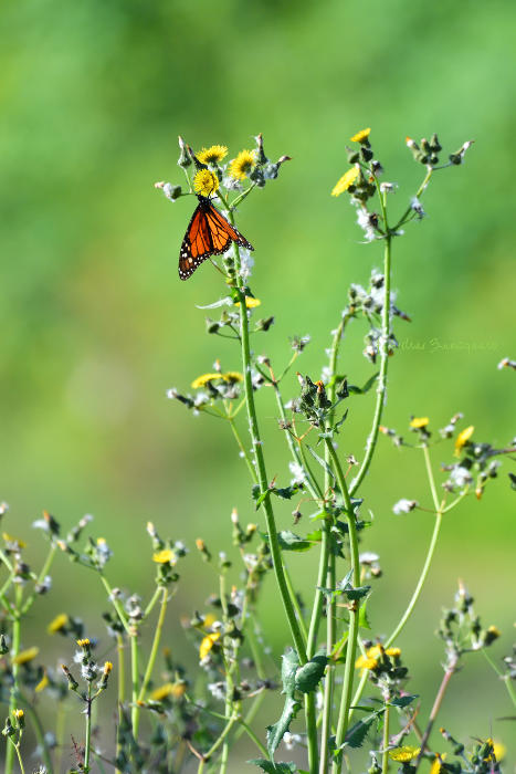 mariposa_monarca_20170302_101505_san_pedro_700